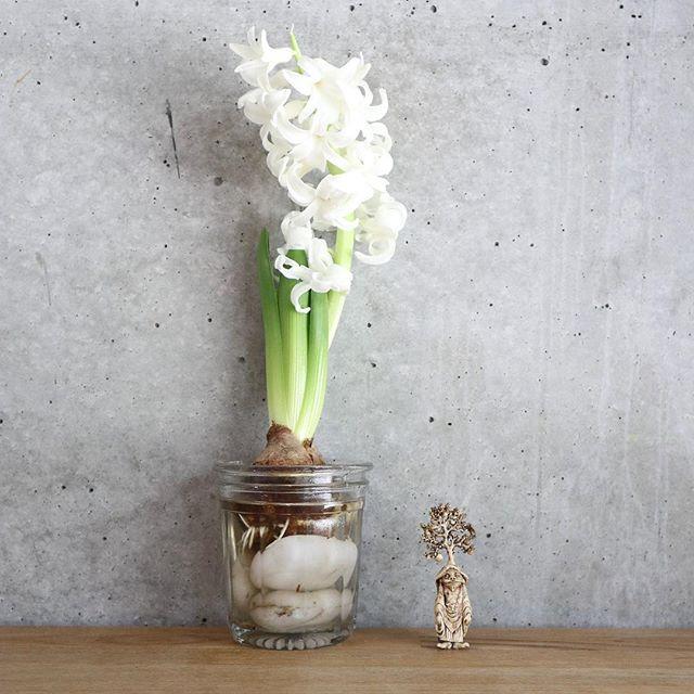 村上隆の羅樹木羅漢に似てるなと思ってからどこか神々しく見えるヒヤシンス。満開でいい匂い。 (Instagram)